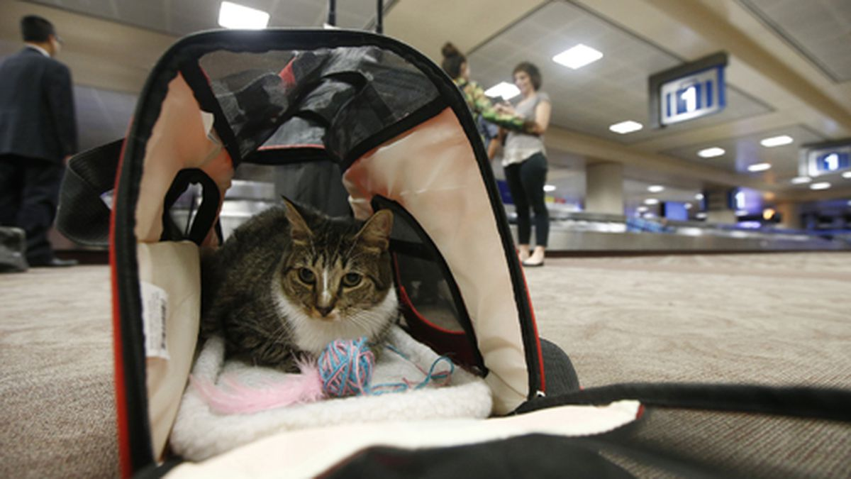 In this Sept. 20, 2017 file photo, Oscar the cat sits in his carry-on travel bag after arriving at Phoenix Sky Harbor International Airport in Phoenix. Airlines might soon be able to turn away cats, rabbits and all animals other than dogs that passengers try to bring with them in the cabin. The U.S. Transportation Department on Wednesday, Jan. 22, 2020, announced plans to tighten rules around service animals. The biggest change would be that only dogs could qualify. (AP Photo/Ross D. Franklin, File)