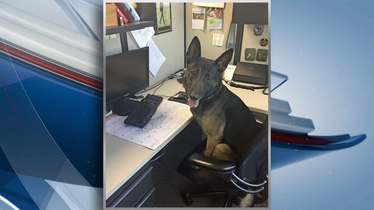 K9 Apollo was the first dog in the state of Illinois to detect a kilo of carfentanyl-laced...