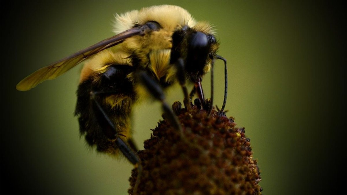 St. Ambrose University announced they are now a certified Bee Campus USA® affiliate, making it...