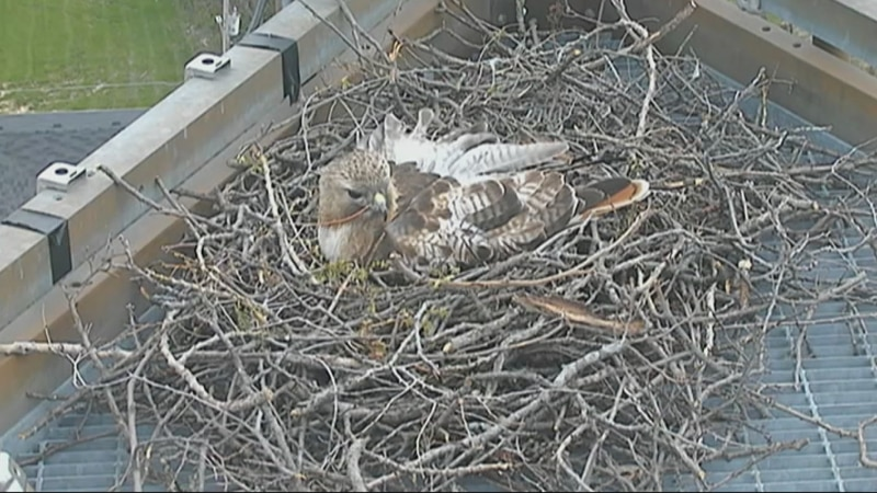 A pair of Red-Tailed Hawks have built a home at the top of the KWQC tower.