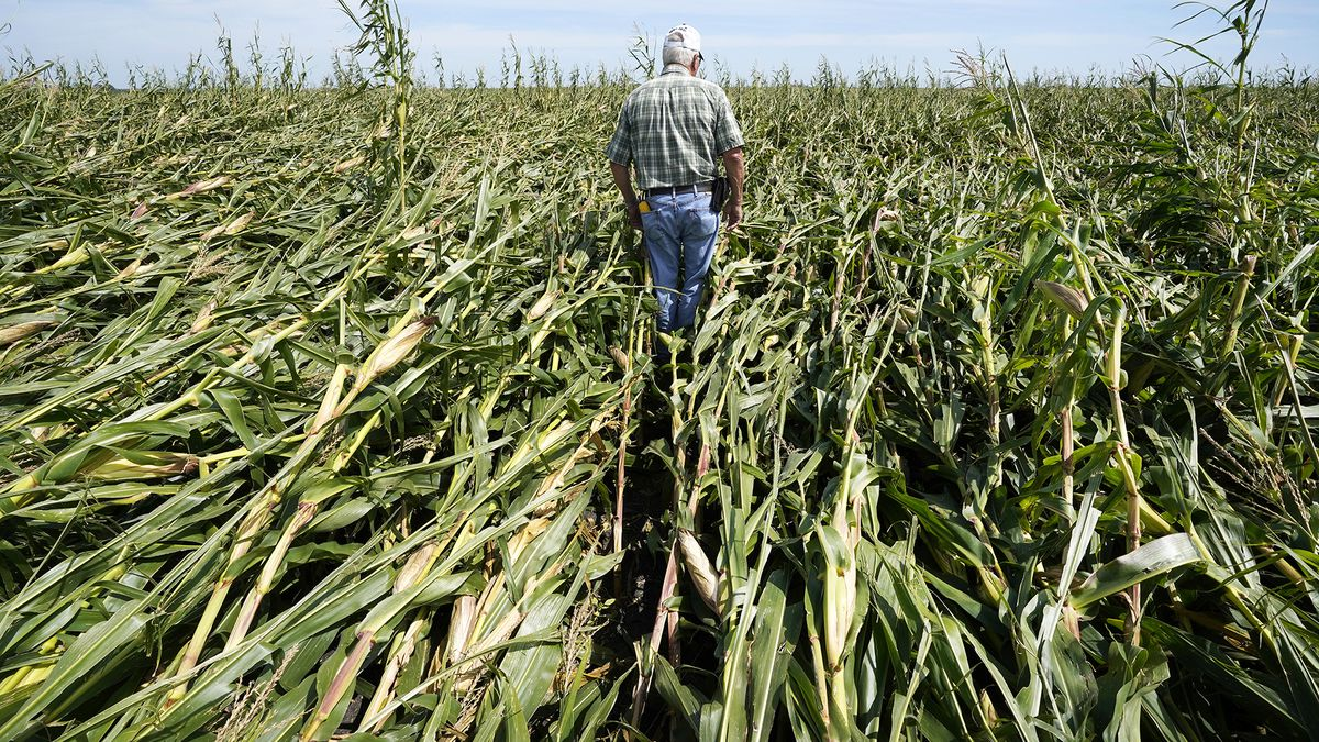 Rod Pierce walks through a cornfield damaged in the derecho earlier this month, Thursday, Aug. 20, 2020, near Woodward, Iowa. Pierce is among hundreds of Iowa farmers who are still puzzling over what to do next following the Aug. 10 derecho, a storm that hit several Midwestern states but was especially devastating in Iowa as it cut west to east through the state's midsection with winds of up to 140 mph.
