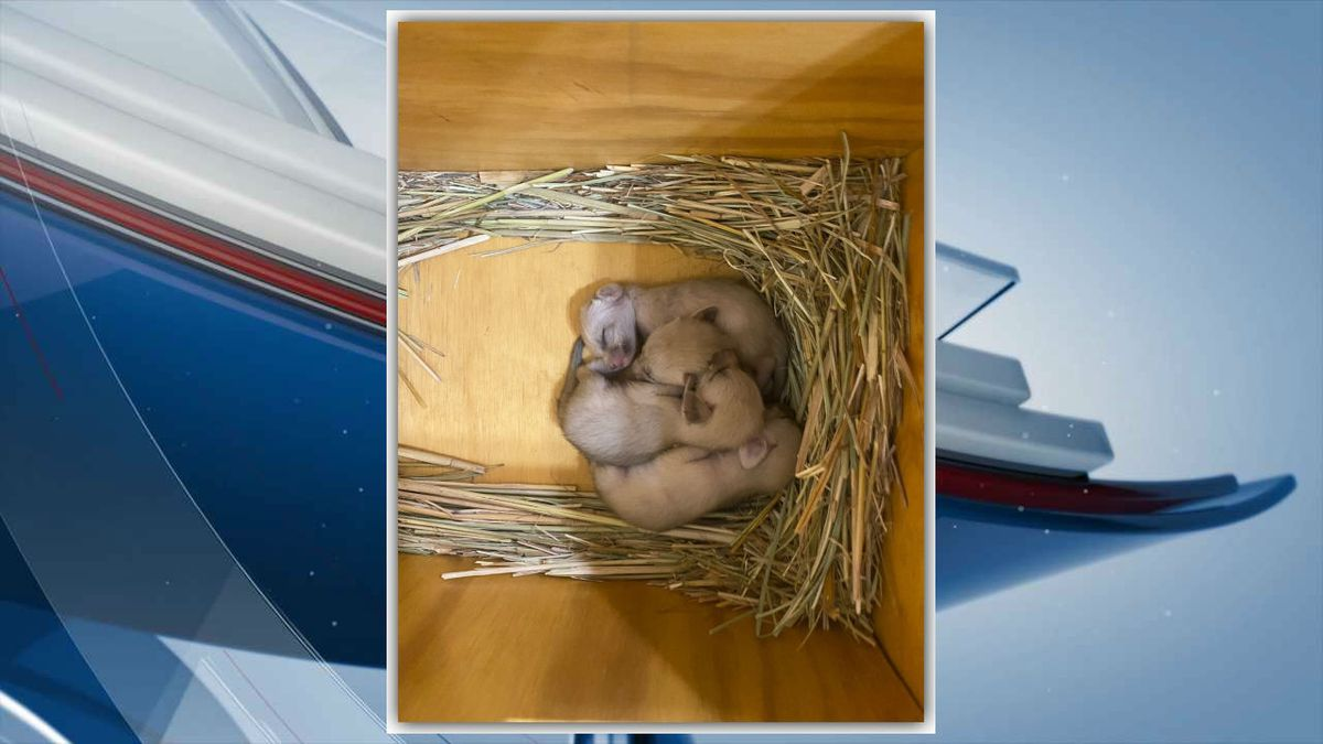 The Niabi Zoo is celebrating the birth of four Fennec Foxes. (Niabi Zoo)