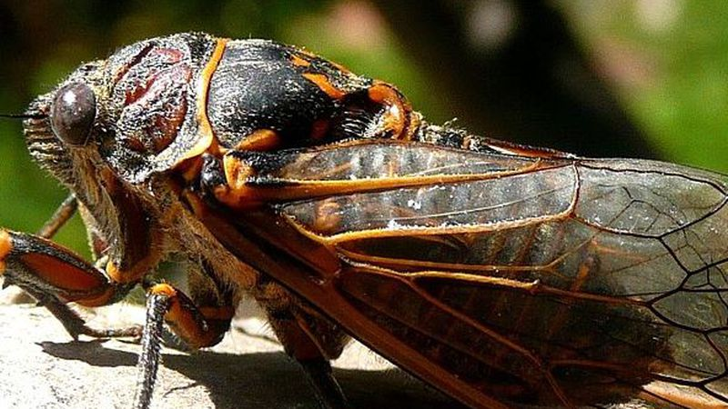 17-year cicadas will appear in states east of the Quad Cities