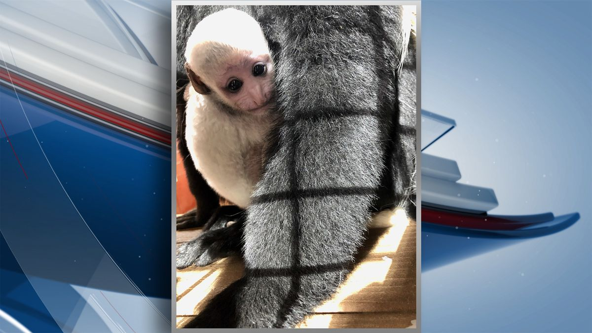 Officials with Niabi Zoo have announced the birth of Kindu, an Eastern black and white Colobus...