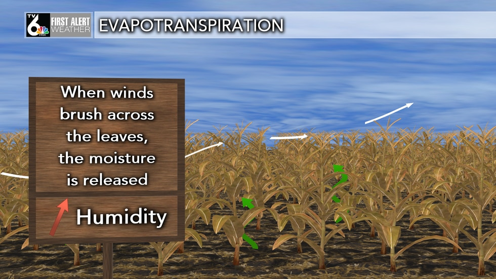 Humidity increases in areas surrounding a corn field in the summer.