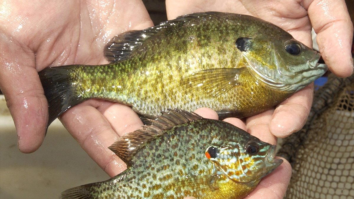 Photos of a bluegill, top, and pumpkinseed sunfish, bottom,  Monday, June 30, 2003 on Lake Erie...