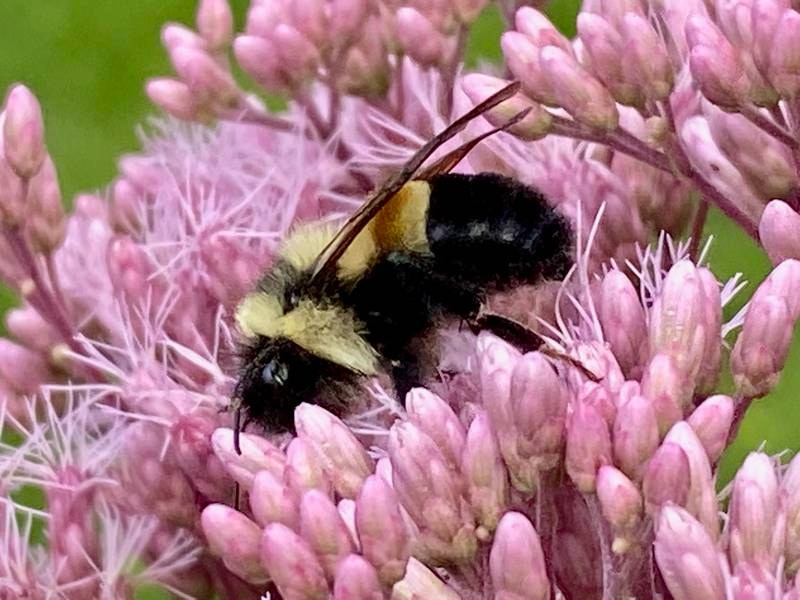 Rusty patched bumble bee on flowers at downtown Appleton home
