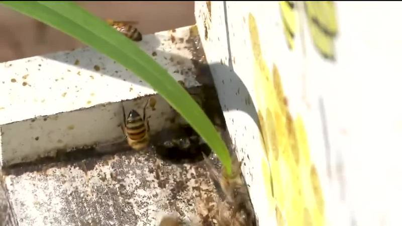 TV6 Meteorologist Kevin Phelps talks with Sharlin Barfield about beekeeping.